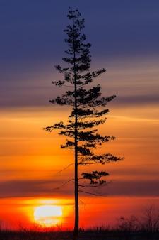 Árvore velha contra o sol da manhã. amanhecer.