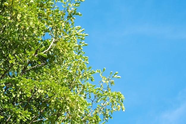 Árvore verde e céu azul com luz solar na temporada de verão.