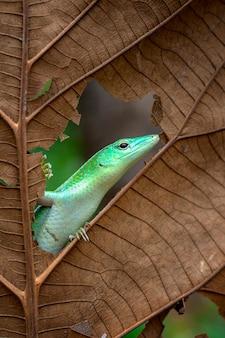Árvore verde-esmeralda skink na folha