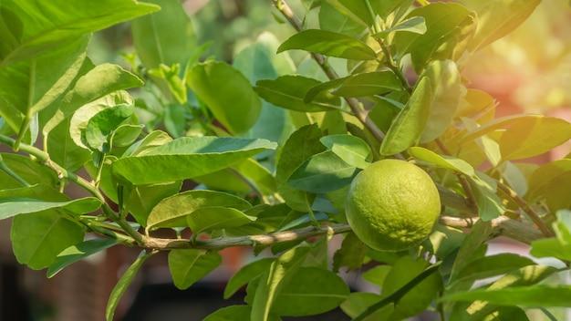 Árvore verde limão
