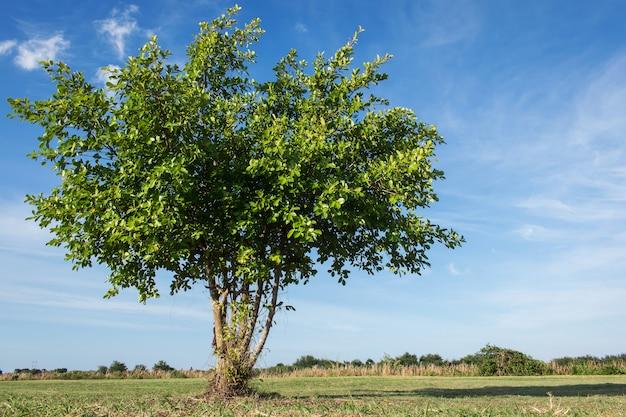 Árvore verde no fundo do céu azul