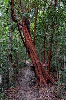 Árvore vermelha atravessar o caminho a pé