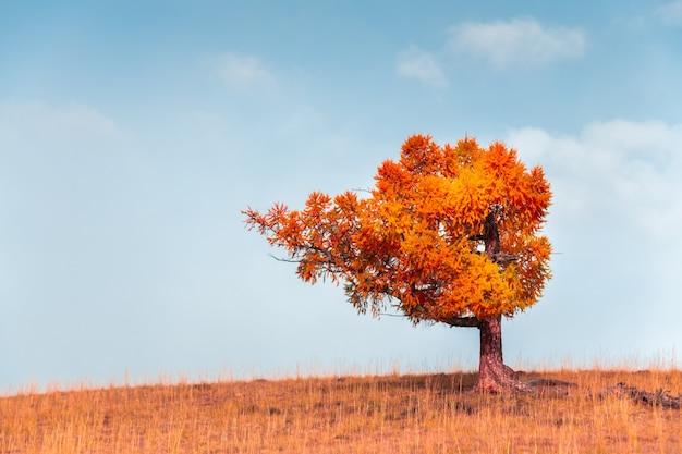 Árvore vermelha do outono na colina contra o céu azul. belo fundo de natureza de outono