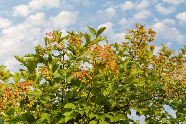 Árvore viburnum com bagas verdes e folhas verdes na superfície do céu azul
