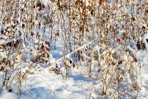 Arvoredos cobertos de neve de árvores jovens na floresta de inverno em tempo ensolarado