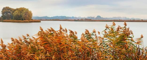 Arvoredos de junco no rio no outono em um dia nublado, panorama