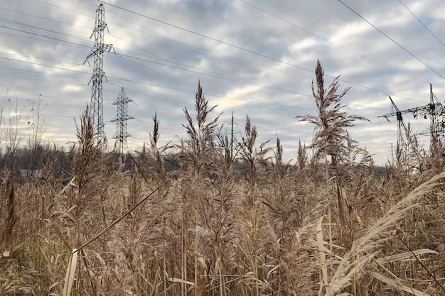 Arvoredos de juncos secos com borlas fofas sob a linha de alta tensão