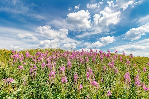 Arvoredos de salgueiro rosa em flor na colina contra o céu azul profundo com nuvens brancas em um dia ensolarado de verão