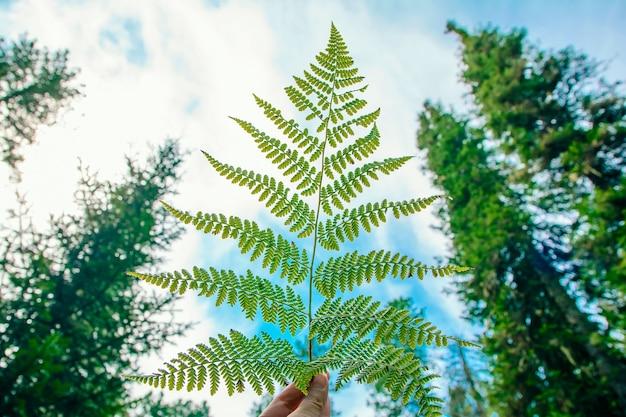 Arvoredos densos de samambaias na floresta