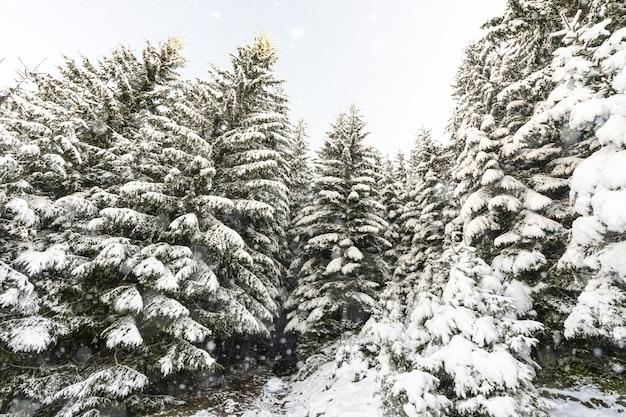 Árvores altas densas velhas abetos crescem em uma encosta nevada nas montanhas em um dia nublado de inverno nublado. o conceito da beleza da floresta de inverno e áreas protegidas