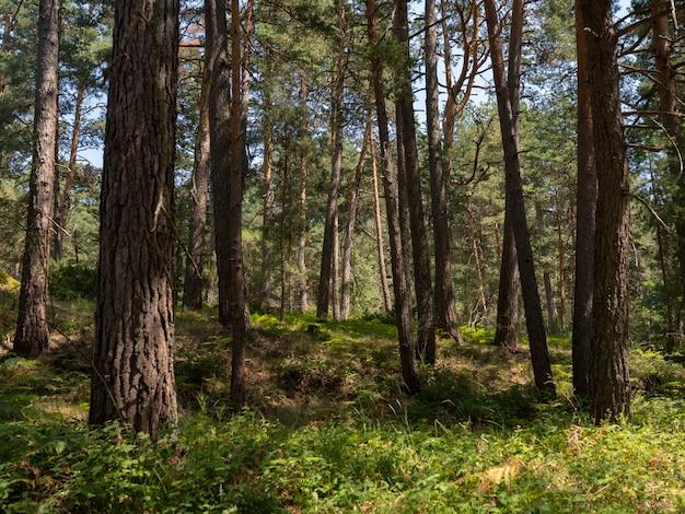 Árvores altas na floresta verde