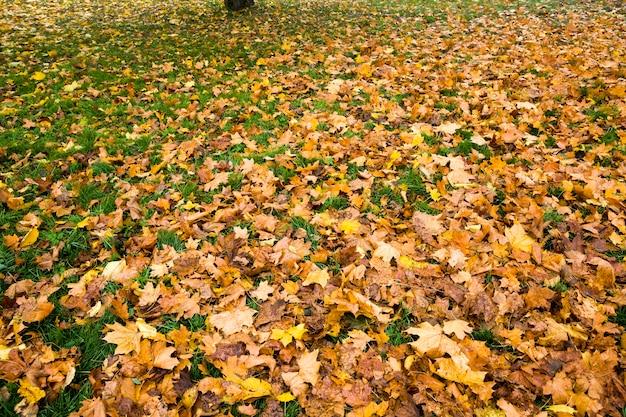 Árvores amareladas com folhas caídas e repousa nas copas das árvores no parque de outono, dia de sol