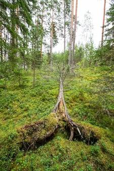 Árvores arrancadas após furacão em uma floresta no leste europeu.