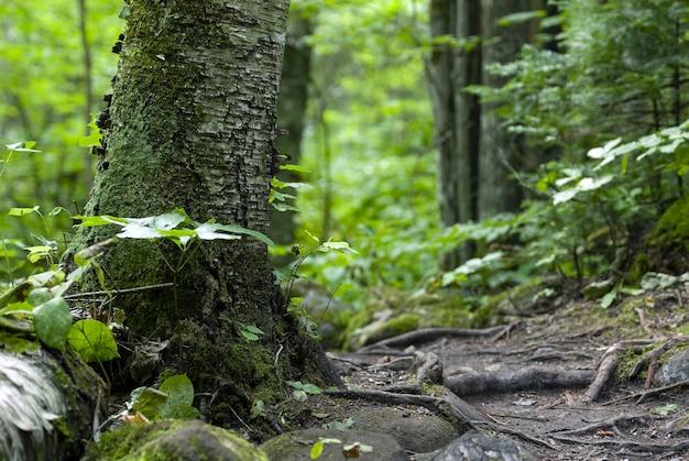 Árvores cobertas de musgo e rodeadas por plantas na floresta