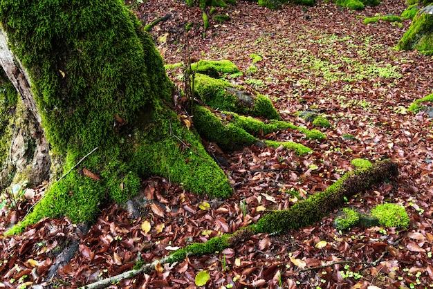 Árvores cobertas de musgo em uma floresta verde mística