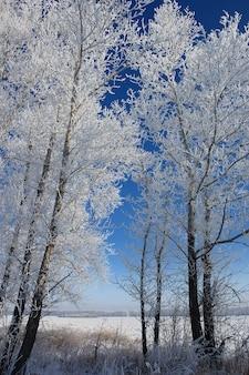 Árvores cobertas de neve em uma floresta de inverno contra um céu azul