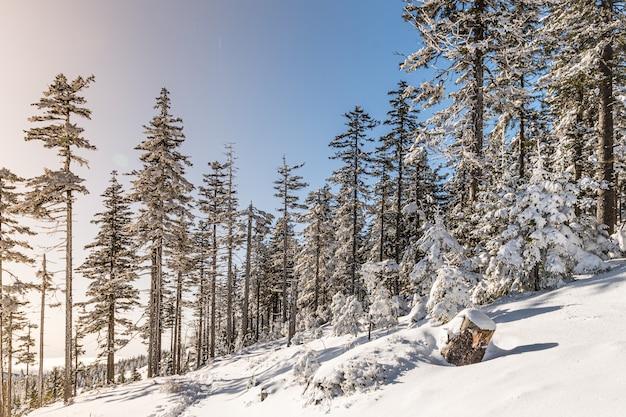 Árvores cobertas de neve em uma floresta sob a luz do sol e um céu azul