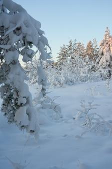 Árvores cobertas de neve na floresta de inverno ao pôr do sol.