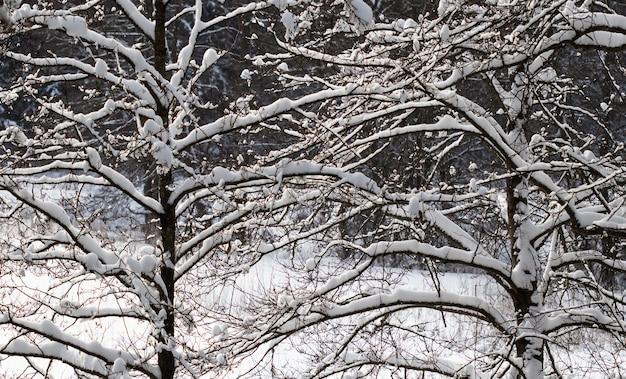 Árvores cobertas de neve ramificam cenário natural com neve branca e clima frio gelado e ensolarado