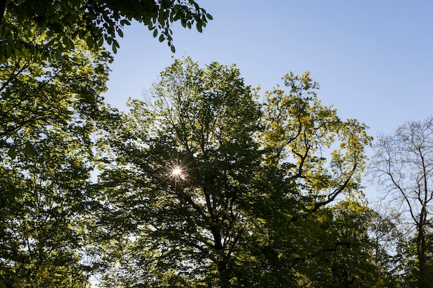 Árvores com folhagem verde no verão, a folhagem das árvores é iluminada pela luz solar intensa