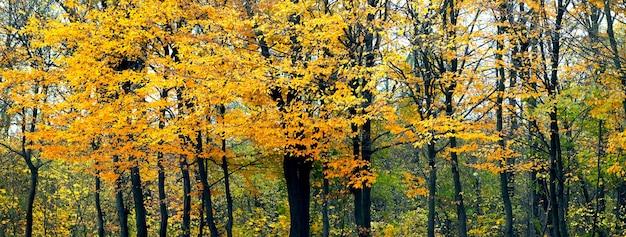 Árvores com folhas amarelas na floresta de outono, fundo de outono