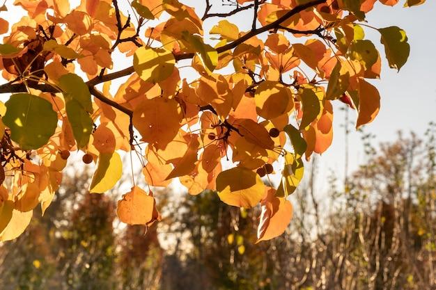 Árvores com folhas amarelas para o outono