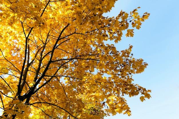 Árvores com folhas de bordo amareladas no outono do ano, contra um céu azul