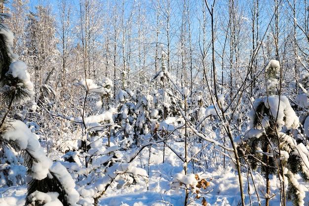 Árvores coníferas cobertas de neve