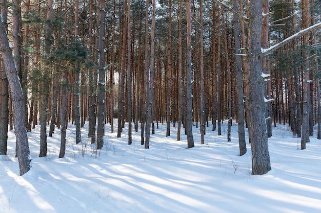 Árvores coníferas e decíduas sem folhagem no inverno
