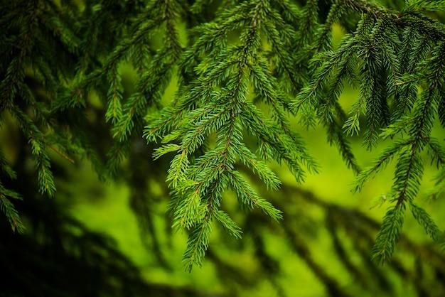 Árvores coníferas em uma floresta nublada e chuvosa