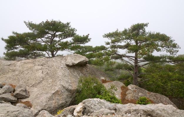 Árvores coníferas na encosta das rochas (manhã nublada) (crimeia, ucrânia)