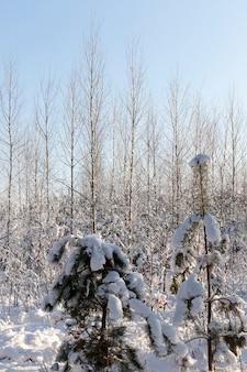 Árvores coníferas no inverno