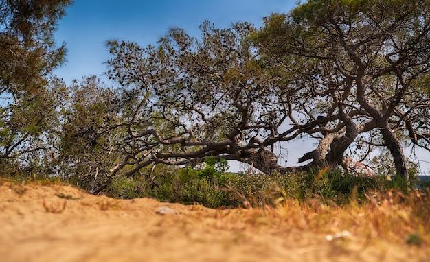 Árvores coníferas velhas e retorcidas com galhos espalhados e emaranhados