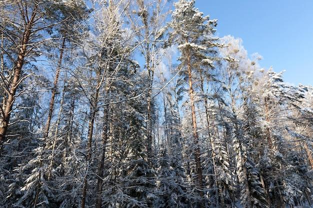 Árvores crescendo na floresta. foto tirada no inverno, após uma nevasca. no chão há montes de neve