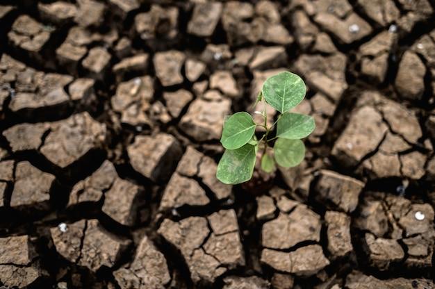 Árvores cultivadas em solo seco, rachado e seco na estação seca, aquecimento global