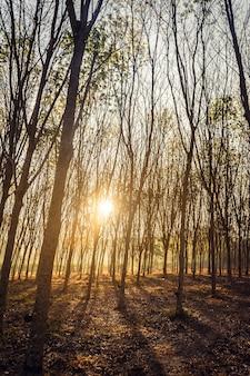 Árvores da floresta arborizada iluminadas por trás da luz do sol dourada antes do pôr do sol, com raios de sol passando por entre as árvores no chão da floresta iluminando galhos de árvores