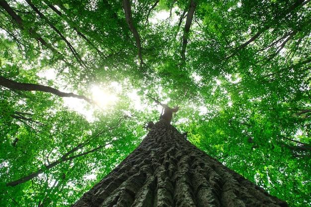 Árvores da floresta. natureza verde madeira luz solar fundos