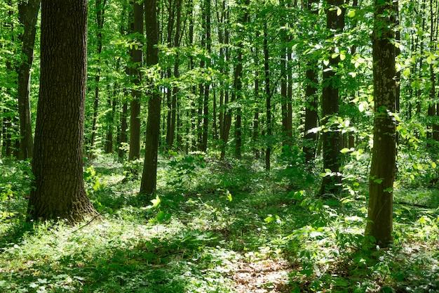 Árvores da floresta. natureza verde madeira madeira