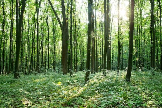 Árvores da floresta verde. natureza verde madeira luz solar fundos