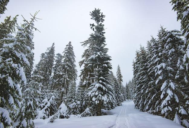 Árvores de abeto majestosas de vista inferior com galhos cobertos de neve ficam na floresta em um dia nublado e cinza. o conceito de uma paisagem de inverno rigorosa