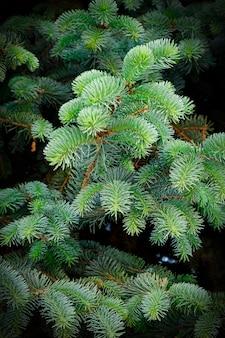 Árvores de abetos verdes coníferas