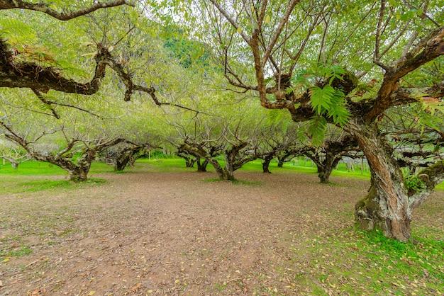 Árvores de abricó japonês na estação agrícola real angkhang