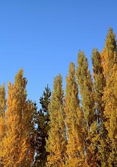 Árvores de álamo de outono contra o céu azul ensolarado