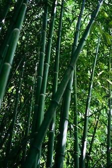 Árvores de bambu em um jardim botânico. floresta verde perto da imagem.