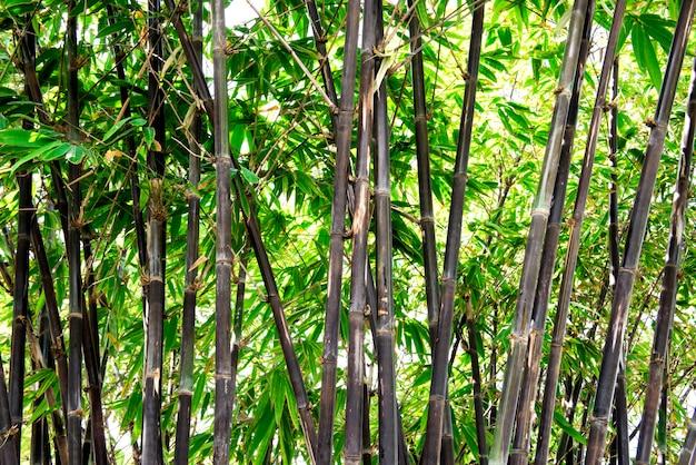 Árvores de bambu ou bambusa vulgaris schracd em fundo natural.
