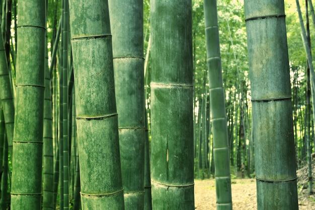 Árvores de bambu verdes gigantes crescem enfileiradas na floresta do crepúsculo; foco nas árvores da frente