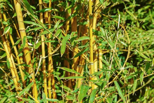 Árvores de bambu