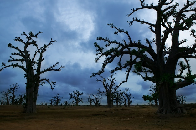 Árvores de baobab de áfrica em um dia nublado