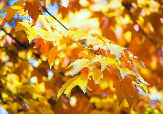 Árvores de bordo de outono (close-up) no parque da cidade de outono