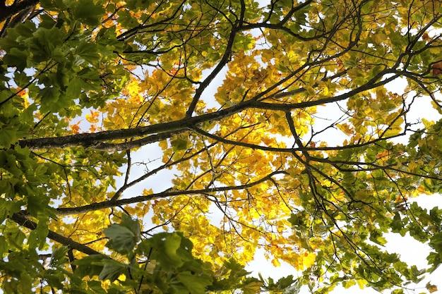 Árvores de bordo durante o outono